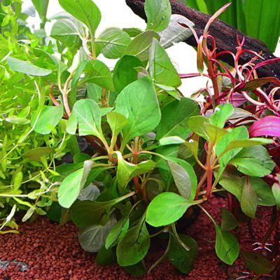 lot de plantes pour aquarium de 60 cm prix avantageux. Black Bedroom Furniture Sets. Home Design Ideas