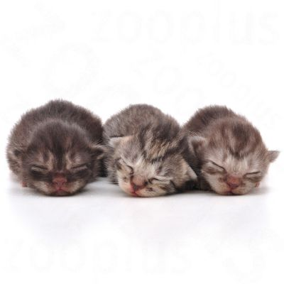 Royal Canin Babycat Milk | Great deals at zooplus.ie