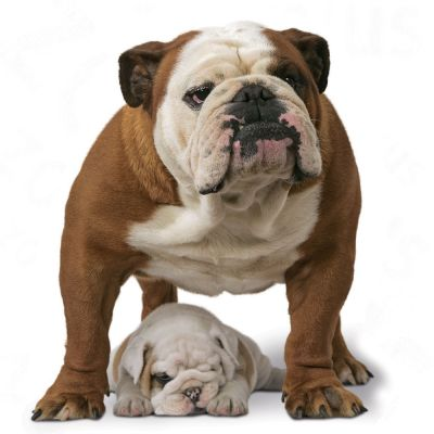 royal canin breed bulldog adult croquettes pour chien zooplus. Black Bedroom Furniture Sets. Home Design Ideas