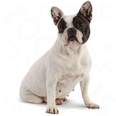 Royal Canin French Bulldog Junior Food Wroc Awski