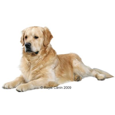 royal canin breed golden retriever adult croquettes pour chien zooplus. Black Bedroom Furniture Sets. Home Design Ideas