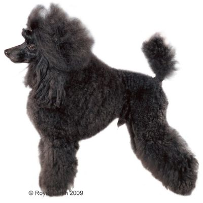royal canin breed poodle adult croquettes pour chien zooplus. Black Bedroom Furniture Sets. Home Design Ideas