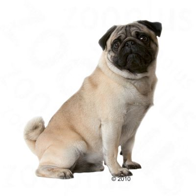 royal canin breed pug adult croquettes pour chiot zooplus. Black Bedroom Furniture Sets. Home Design Ideas