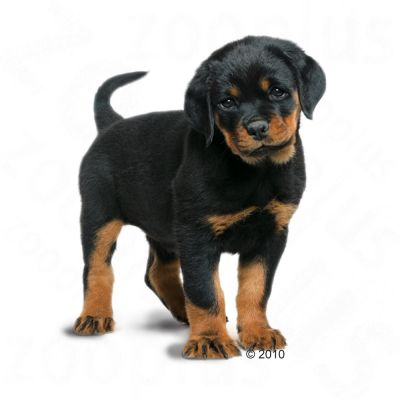 Royal Canin Breed Rottweiler Junior - Croquettes pour chiot - zooplus