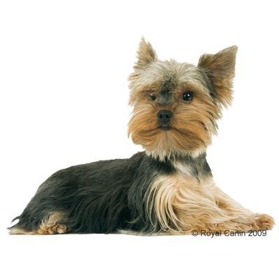 Royal Canin Breed Yorkshire Terrier Junior - Croquettes