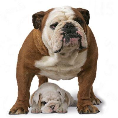 royal canin breed bulldogge adult hundefutter g nstig bei. Black Bedroom Furniture Sets. Home Design Ideas