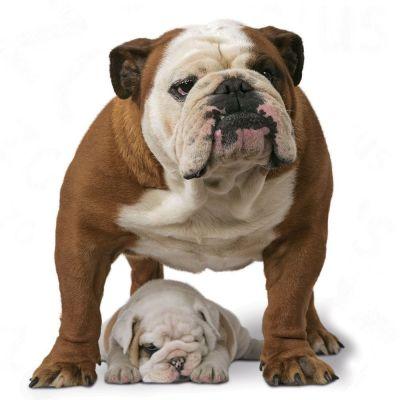 royal canin bulldog adult free p amp p on orders 29 at