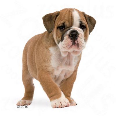 royal canin bulldog junior w sklepie zooplus. Black Bedroom Furniture Sets. Home Design Ideas
