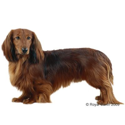 royal canin breed dachshund adult croquettes pour chien zooplus. Black Bedroom Furniture Sets. Home Design Ideas