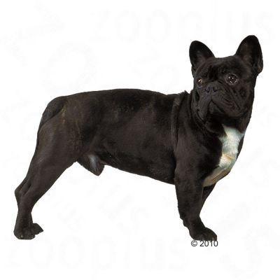 royal canin french bulldog adult at zooplus. Black Bedroom Furniture Sets. Home Design Ideas