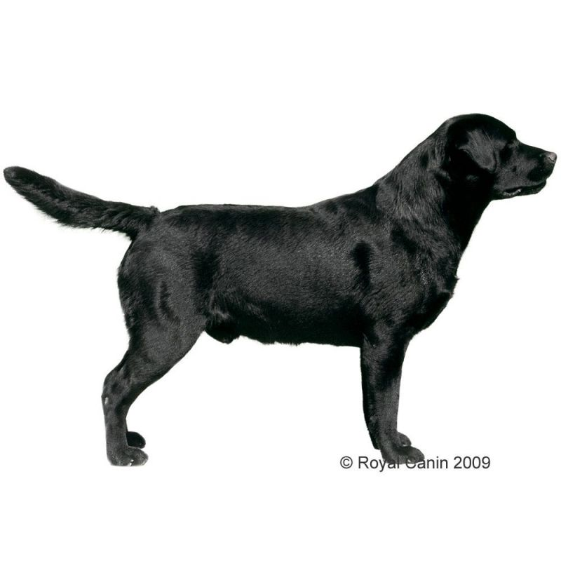 royal canin labrador retriever adult free p p 29 at. Black Bedroom Furniture Sets. Home Design Ideas