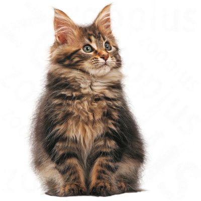Royal Canin Maine Coon Kitten Great Deals At Zooplus