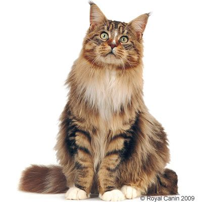 royal canin maine coon croquettes pour chat zooplus. Black Bedroom Furniture Sets. Home Design Ideas