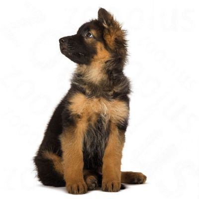 royal canin maxi starter   mother amp babydog great deals