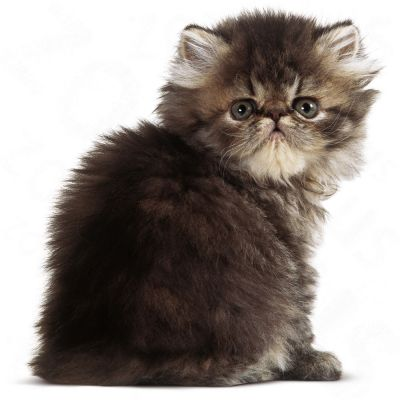 royal canin persian kitten free p p on orders 29 at. Black Bedroom Furniture Sets. Home Design Ideas
