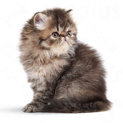Royal Canin Persian Kitten Free P Amp P On Orders 163 29 At