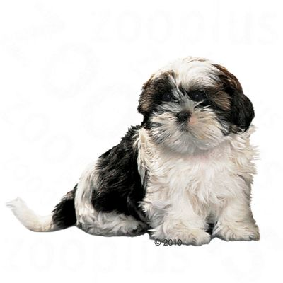 royal canin shih tzu junior w sklepie zooplus. Black Bedroom Furniture Sets. Home Design Ideas