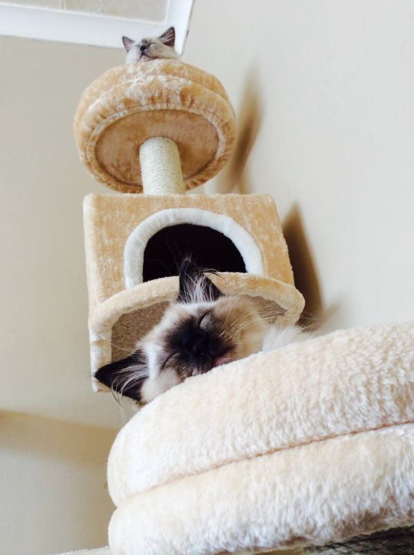 ansamblu joaca pisici
