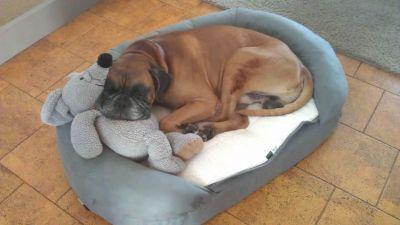 Dog Bed Karlie Oval OrthoBed