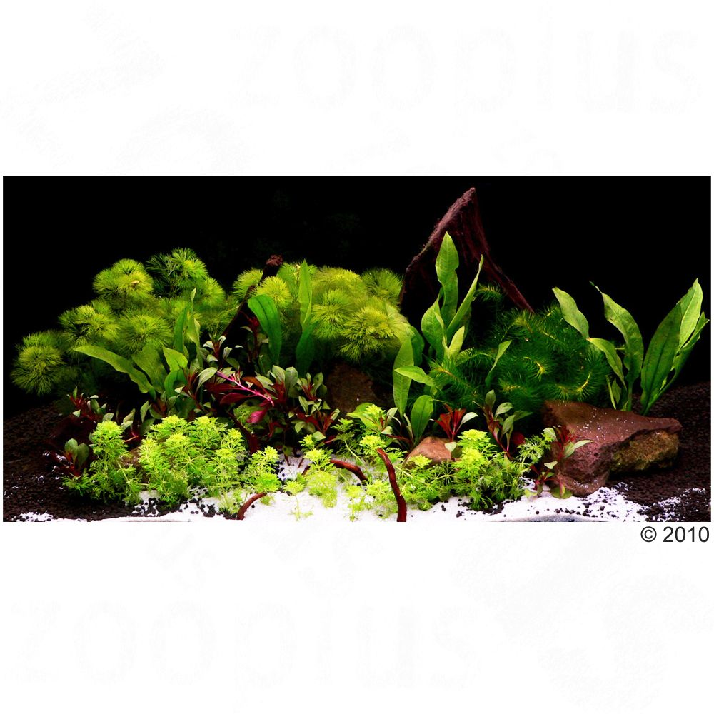 Aquarienpflanzen Zooplants ´´Asia World´´ - 14 ...