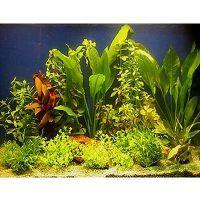 Aquarienpflanzen Zooplants für 100 - 120 cm Aqu...