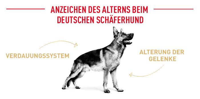 Anzeichen des Alterns beim Deutschen Schäferhund