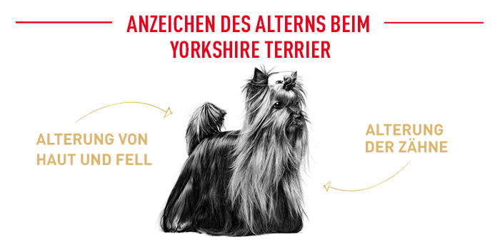 Alterserscheinungen Yorkshire Terrier