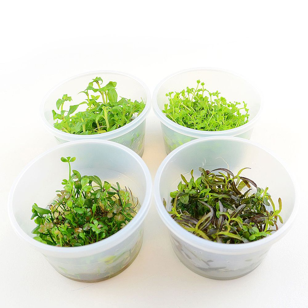 Zooplus - Lot mixte de plantes in vitro - 4 plantes en pot