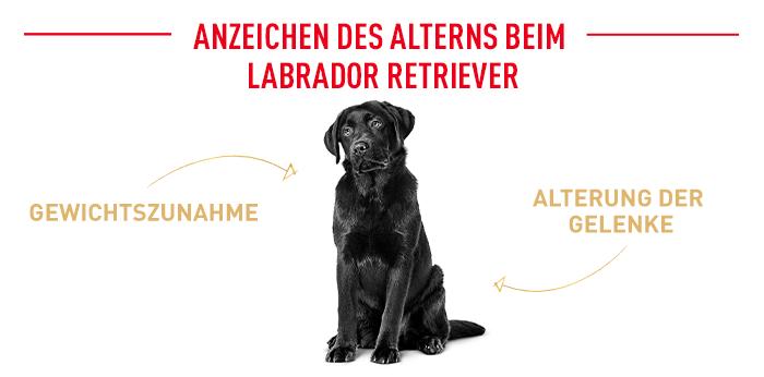 Alterserscheinungen beim Labrador Retriever