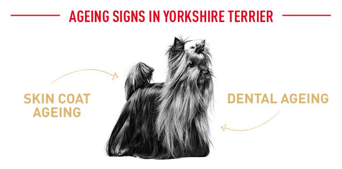 Alterserscheinungen Yorkshire Terrier