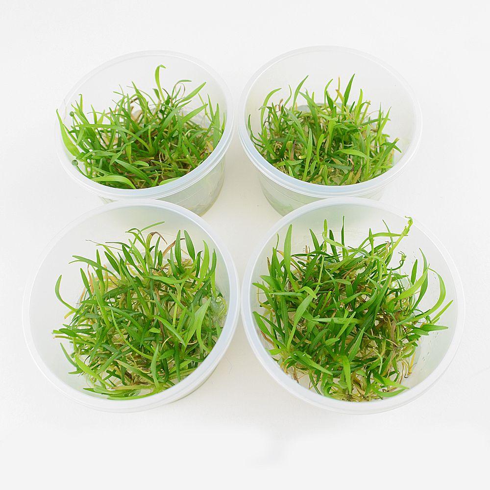 Foto Piante In Vitro Cup Echinodorus tenellus - 8 Cup - prezzo top! zooplants