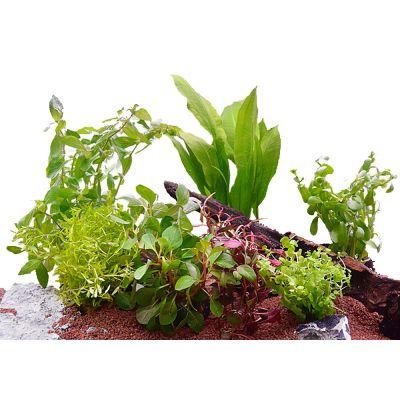 Aquarienpflanzen Zooplants für 60 cm Aquarien - 7 Topfpflanzen