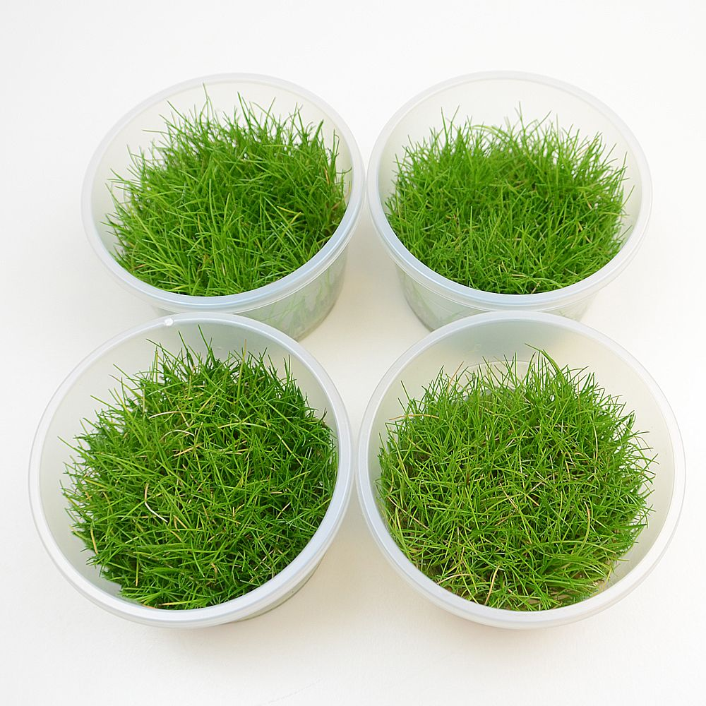 Zooplus - Lot de plantes in vitro eleocharis acicularis mini - 4 plantes en pot