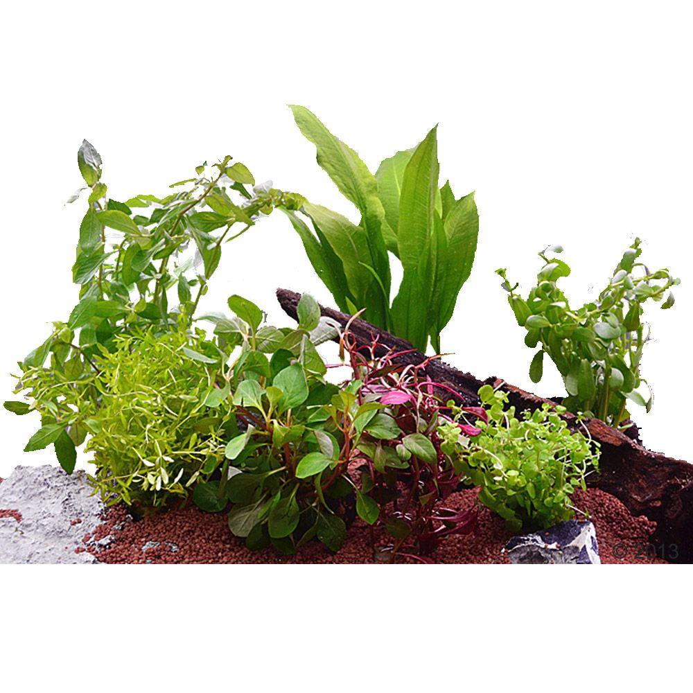 Aquarienpflanzen Zooplants für 60 cm Aquarien -...