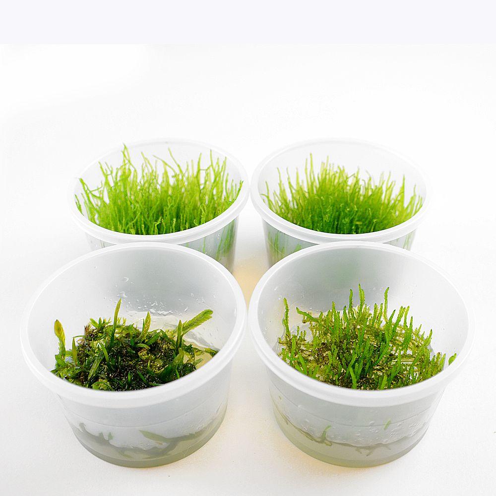 Foto Piante In Vitro Cup Muschio - 8 Cup - prezzo top! zooplants
